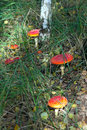Fly agaric mushrooms in a forest . Royalty Free Stock Image