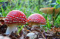 Fly agaric mushrooms in a row three young beautiful but toxic amanita muscaria growing natural habitat Stock Photos