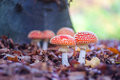 Fly agaric spotted toadstools in the woods Royalty Free Stock Photo