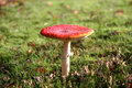 Fly Agaric toadstool Stock Photo