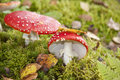 Fly agaric toadstools Royalty Free Stock Photography