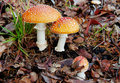 Fly-agarics