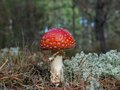 Fly amanita muscaria in the pinewood Royalty Free Stock Photo