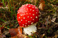 Fly amanita a young Royalty Free Stock Photos