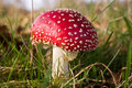 Fly amanite fungi, mushroom in a forest Stock Image