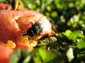 Fly on Apple Royalty Free Stock Photo
