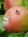 The fly on the apple is sitting red Stock Photography
