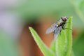 Fly in biology the flies are typical of the complete metamorphosis of insects Stock Photography