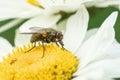 Fly In Daisy Flower
