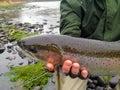 Fly Fisherman with Steelhead Royalty Free Stock Photo