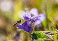 Fly on flower insect a landed a purple in a meadow Royalty Free Stock Photo