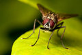 Fly on a green leaf Royalty Free Stock Photography