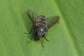 Fly on green leaf macro closeup Royalty Free Stock Photography