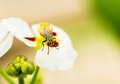 Fly hold on lotus flower Royalty Free Stock Photo
