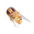 Fly hoverfly Royalty Free Stock Photography
