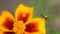 Fly insect bird sits on a bright yellow-red flower. The surface is lit by the bright sun. Macro photo of an insect with Royalty Free Stock Photo