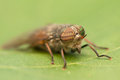Fly irritating large biting with big eyes Stock Image