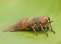 Fly irritating large biting with big eyes Royalty Free Stock Photo