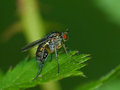 Fly on a leaf closeup of in profile Royalty Free Stock Images