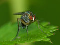 Fly on a leaf looking into the camera closeup of Stock Photography