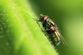 Fly on leaf the macro of the green Royalty Free Stock Photography