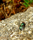 Fly lucilia sericata closeup macro detail of green sitting on stone Royalty Free Stock Image