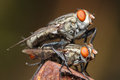 Fly macro flies mating action in photo Stock Photo