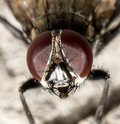 Fly. macro . Royalty Free Stock Photo