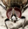 Fly. macro . Royalty Free Stock Photo