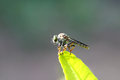 Fly macro on green leaves. Royalty Free Stock Photo