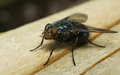 A macro photo of a Bluebottle Blow-Fly Royalty Free Stock Photo