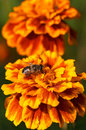 Fly on the orange flower Royalty Free Stock Images