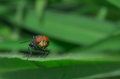 The fly is perching on the green leaf Stock Photography