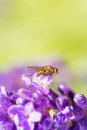 Fly resting on a lavender color flower Stock Photo