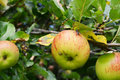 Fly on a ripe apple on the branch Royalty Free Stock Photo
