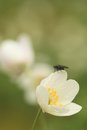 Fly on spring snowflake a sitting the Royalty Free Stock Images