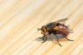 Fly on tabletop the close up of a big with long black setae Royalty Free Stock Photo