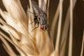Fly on wheat macro Royalty Free Stock Photo