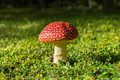 Flyagaric mushroom in green moss in fall forest kepler track new zealand Stock Photography