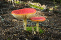 Flyagaric mushroom in new zealand green moss fall forest kepler track Royalty Free Stock Image