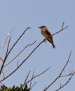 FLYCATCHER vermeil Photos libres de droits