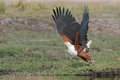 Flying African Fish Eagle taking off Stock Images