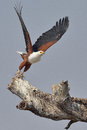 Flying african fish eagle taking off from dead tree photographed in southern africa next to a river Stock Photos