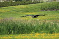 Flying andean condor the over the grassland Royalty Free Stock Image