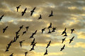 Flying away pigeons against evening sky Stock Photo