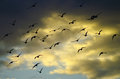 Flying away pigeons against evening summer cloudy sky Stock Photos
