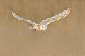 Flying Barn Owl, wild bird in morning nice light. animal in the nature habitat. Bird landing in the grass, action wildlife scene,