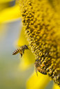 Flying bee on sunflower Royalty Free Stock Photo