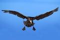 Flying bird bird in flight giant petrel big sea bird on the sky bird in the nature habitat sea bird from sea lion island fal Stock Photo