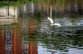 Flying bird on dirty water Royalty Free Stock Photo